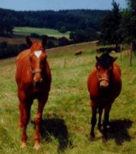 Pferde_auf_der_Weide