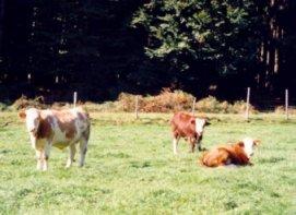 Rinder_auf_der_Weide